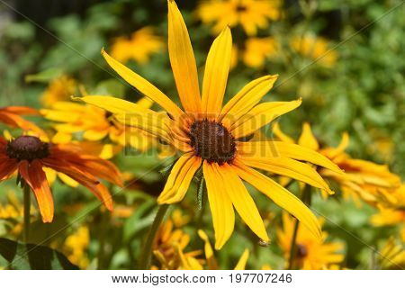 Amazing Poor Land Daisy Bloomed in Nature