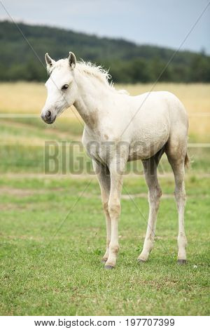 Amazing welsh part-bred foal on green pasturage