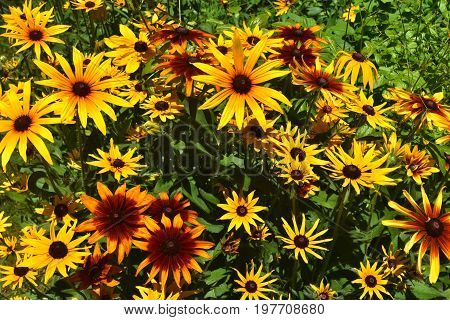Vibrant Black Eyed Susan Daisies in the Spring