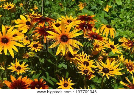 Breathtaking Black Eyed Susans with Many Colors