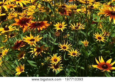 Amazing Close Up of Black Eyed Susans