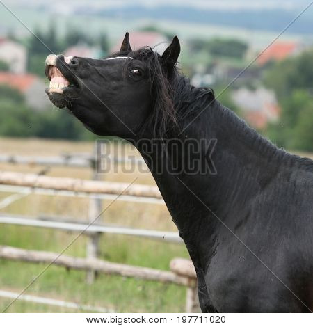 Amazing Black Stallion On Pasturage
