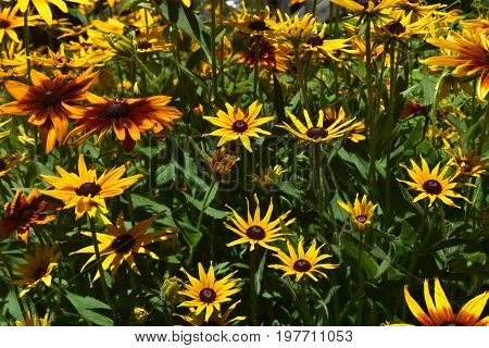 Marvelous Black Eyed Susan Daisies in the Spring
