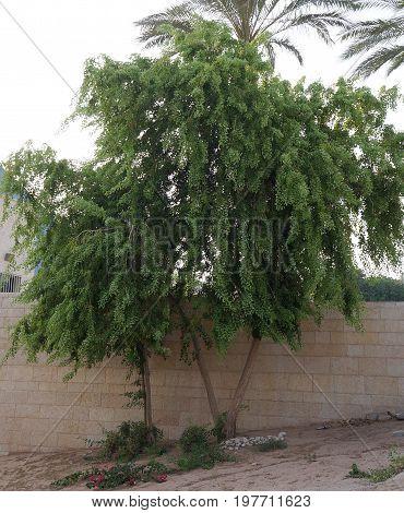 Populus Nigra tree growing in bad conditions
