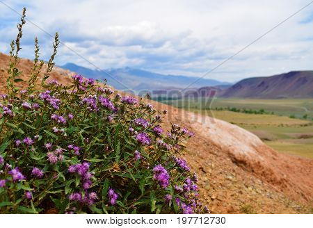 Violet color flower growing on red of Altai mountains. Altay Republic Russia. Blurry background.