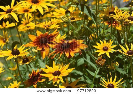 Marvelous Black Eyed Sisan Daisies Up Close