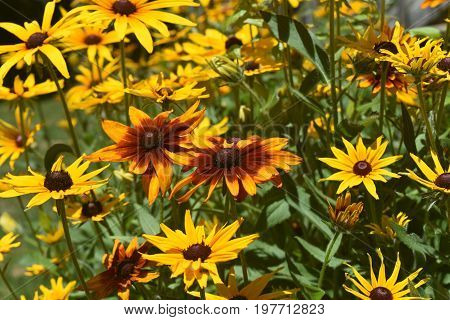 Breathtaking Black Eyed Susan Diasies in the Spring