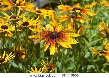 Precious Close Up of Many Black Eyed Susans