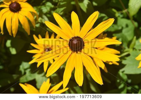 Precious Yellow Ox Eye Daisy in Nature