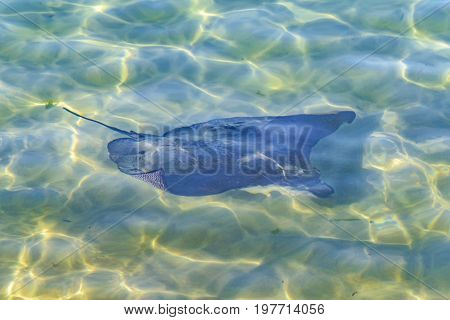 Stingray At Pacific Ocean