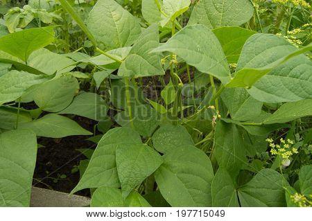 White Color Flower Beans On Green Leaf Background