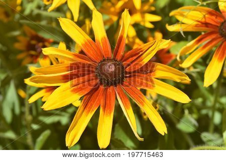 Beautiful Black Eyed Susan Close Up in Nature