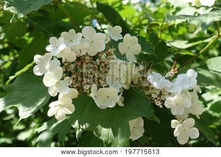 Close Up Of White Guelder Rose Blossom