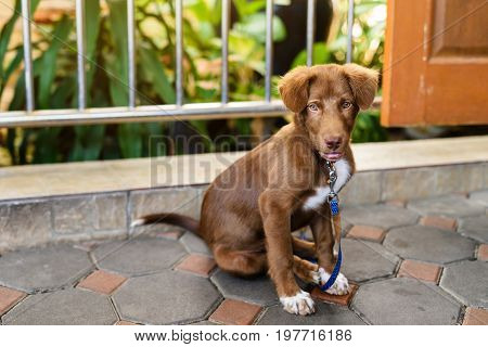 Chained Brown Cute Labrador Puppy