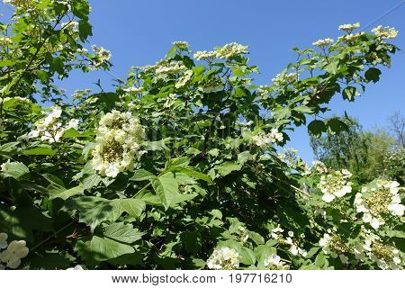 Flowering Branches Of Guelder Rose Against The Sky