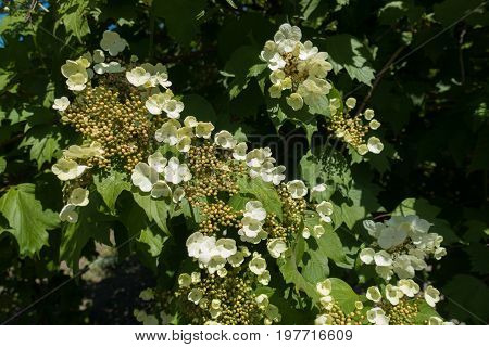 Sterile Flowers And Closed Flower Buds Of Guelder-rose
