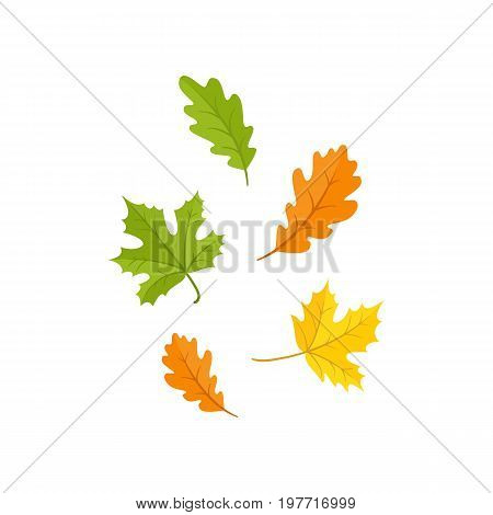 Colorful set of oak and maple fall, autumn leaves, cartoon style vector illustration isolated on white background. Simple cartoon style oak and maple fall, autumn leaves