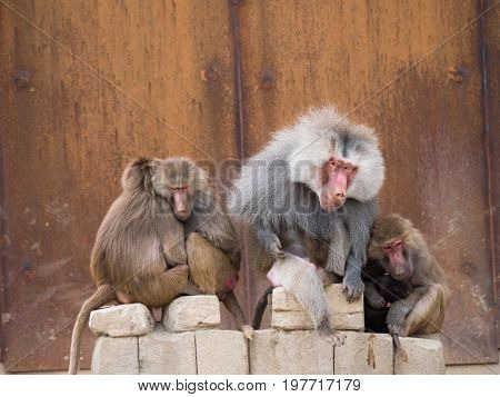 Family of hamadryas baboons with alpha male sitting in the middle