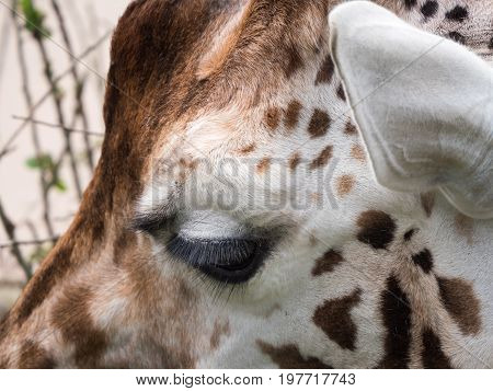 Close-up view of the eyesy of a giraffe