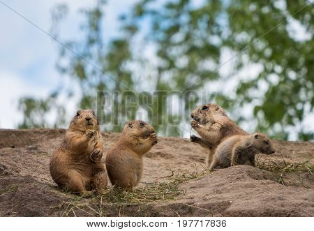 Group of three prairie dogs standing upright