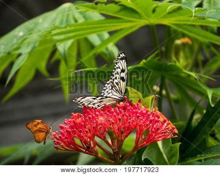 Large nymph butterfly or Idea leuconoe on a red flower