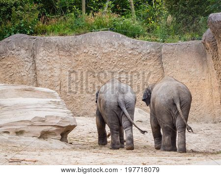Two elephants seen from the back wagging their tails