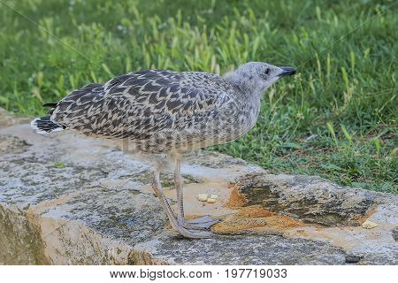 Young Seagull On Stonewall
