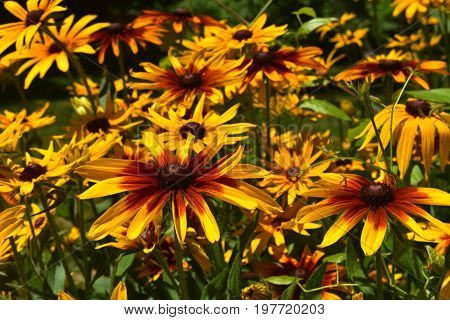 Gorgeous Abundance of Black Eyed Susans In Nature