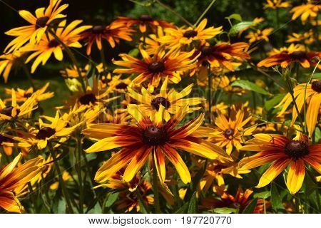 Beautiful Abundance of Black Eyed Susan Daisies