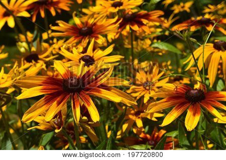 Beautiful Black Eyed Susan Up Close in Nature