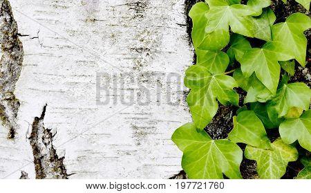 Close up of Ivy on a Birch stem