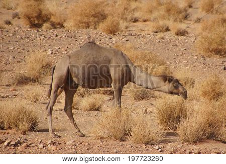 Dromedary so camel is grazing on a miserly yellow desert in northern Africa all have the same color yellow