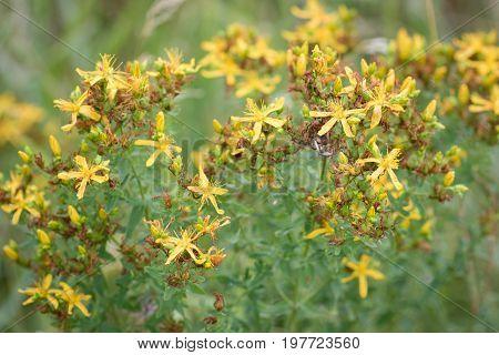 Yellow plant Hypericum perforatum (perforate St John's-wort common Saint John's wort St John's wort).