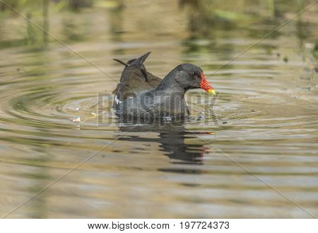 Moorhen, Swimming On A Loch, Close Up