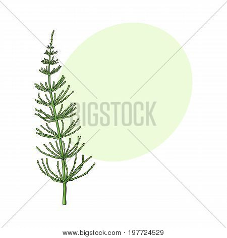 Beautiful equisetum, horsetail twig, branch, decoration element, sketch vector illustration with space for text.