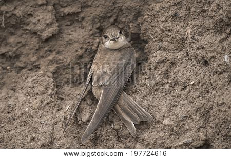 Sand Martin Near Its Nest In A Sandbank