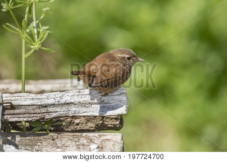 Wren Perched On A Branch, Close Up
