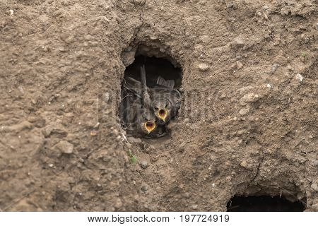 Sand Martin Juveniles In Their Nest In A Sandbank, Calling For Food