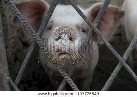 Pig with dirty mouth looking sad in cage.