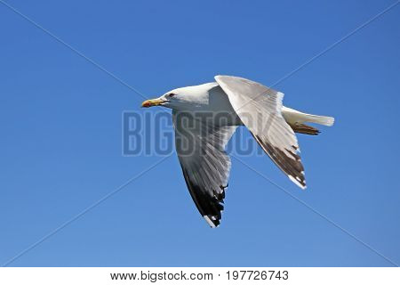 Seagull Flying Against Clear Sky 3