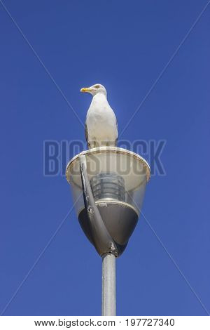 Seagull On Post Against A Clear Sky Background 2
