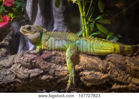 A green iguana standing on a branch, This arboreal lizard is also known as common iguana or American iguana and is native to Central and South America