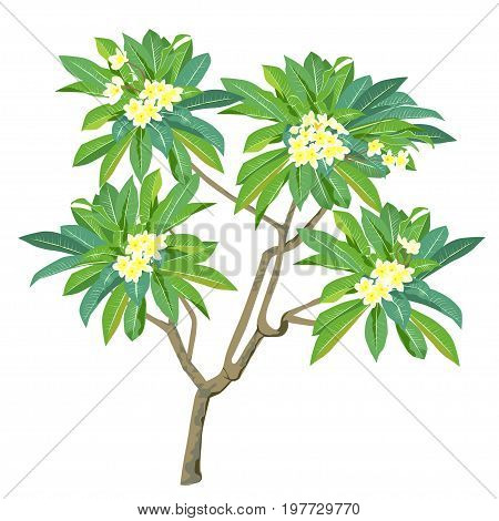 Plant of plumeria (Plumeria) with flowers the color vector image on a white background