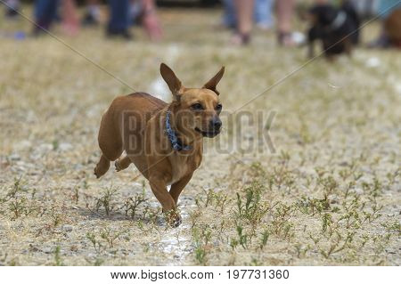 Dachshunds's ears flapping in a race in Rathdrum Idaho.