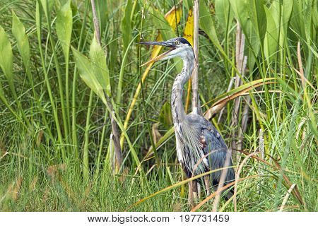 Heron opens its beak in a marshy area with tall grass at Woodruff wildlife preserve in Florida.
