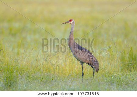Sandhill crane in field near Deleon Springs Florida.