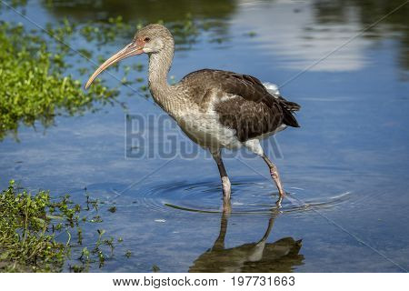 Juvenile ibis walks in water. A young juvenile American white ibis wades in a calm pond in Deland Florida.