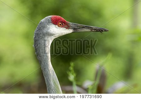 A close up image of the head of a sandhill crane in Deland Florida.