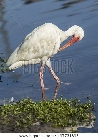 Ibis preens itself. An American white ibis preens itself in the pond in Deland Florida.