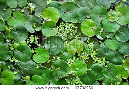 Green leaves of water lilies and the marsh duckweed texture.